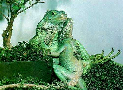 Ii Potential Behavior Amp Attitudes Of The Iguana